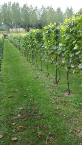 Clos wijngaard 2