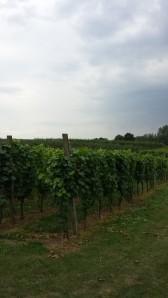 Hoenshof vines 3