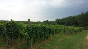 Hoenshof vines 4