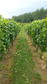 Hoenshof vines 5