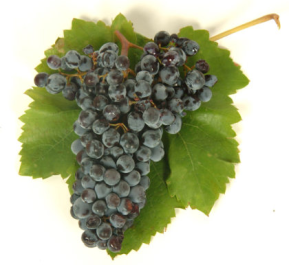 Nero d'avola grape
