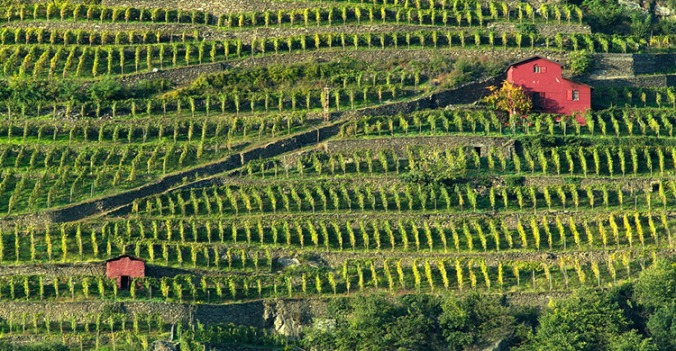 vineyards by valtellina